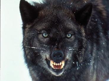 Snarrling Wolf