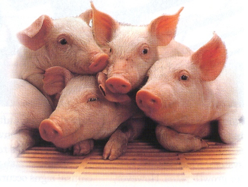 four%20piglets%20front%20view%20jpg