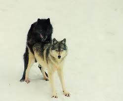 wolf sex